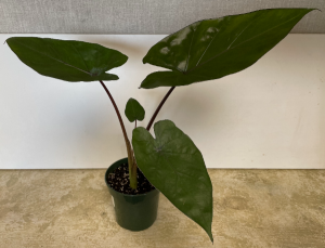Alocasia Metalhead 4 inch pot (ADD ON) in Northport, NY   Hengstenberg's Florist