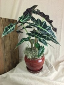 Alocasia Plant  TWO OPTIONS Plant