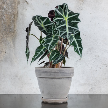 Alocasia Polly (African Mask Plant) Green plant