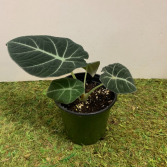 "Alocasia Reginula ""Black Velvet"" Plant in a 4"" pot - *ADD ON*"