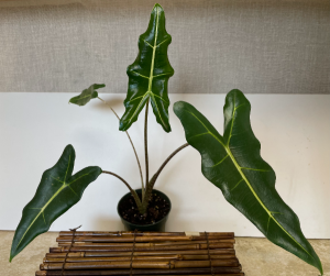 Alocasia Sarian 4 inch pot (ADD ON) in Northport, NY   Hengstenberg's Florist
