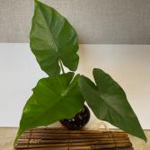 Alocasia Sumo 4 inch pot (ADD ON)