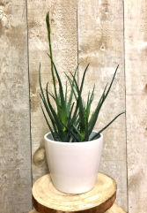 Aloe Blue Star plant
