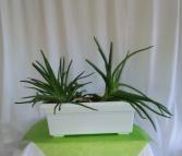 Aloe Garden Plant