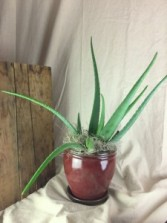 Aloe Plant TWO OPTIONS Plant