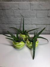 Aloe Vera  in Groovy Green Pot