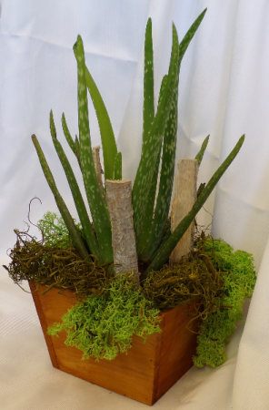 Aloe Vera Plant  in Orleans, ON | SELECT BLOOMS FLORAL BOUTIQUE