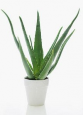 Aloe Vera Plant Potted Tropical Plant