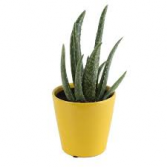 Aloe Vera Potted  Plant  5 Inch