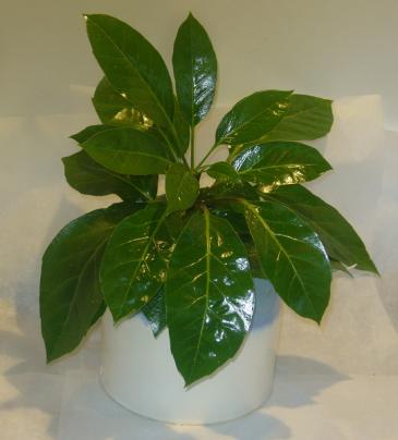 ALPINE SCHEFFLERA Indoor Plants