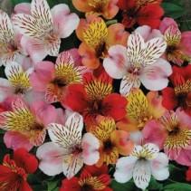 Alstromeria 30st Bulk Flowers