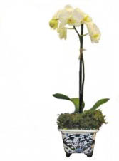Amabalis Orchid in Delft Plant