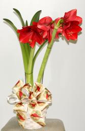 Amaryllis Blooming Plant