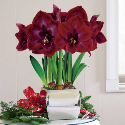 Amaryllis Christmas Flower Plants