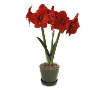 Amaryllis Minerva Plant Christmas Plant
