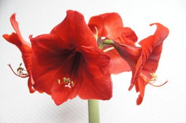 Amaryllis potted plant