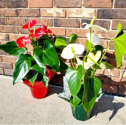 Amazing Anthurium Plant