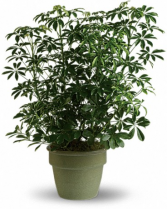 Amazing Arboricola Plant