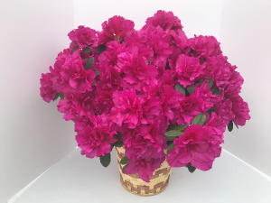 Amazing Azaleas Blooming Plant in Coleman, WI | COLEMAN FLORAL & GREENHOUSES