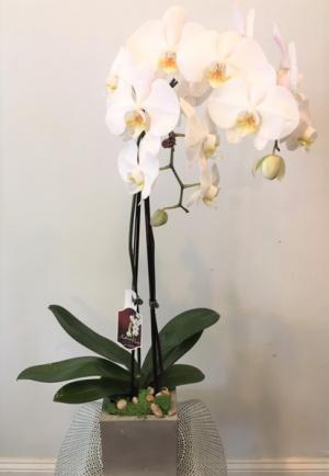 Amazing Orchid plant in Cincinnati, OH | Hyde Park Floral & Garden