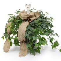 Angel Prayers English Ivy Plant  Without Angel 49.95