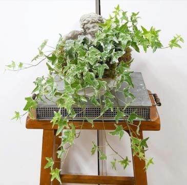 Angelic Ivy Plant
