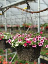 "10"" Annual Single Variety Hanging Basket Flowering Outdoor Annuals"