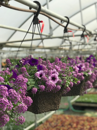 Annual Hanging Basket Flowering Outdoor Annuals