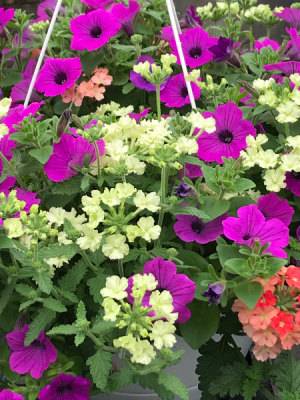 Annual Hanging Basket Plant in Rowley, MA   COUNTRY GARDENS FLORIST