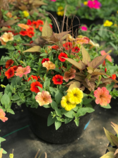 "12"" Annual Patio Pot Flowering Outdoor Annuals"