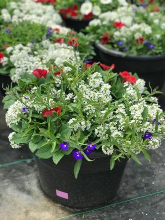 Annual Patio Pot Flowering Outdoor Annuals