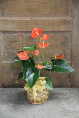 Antherium Plant