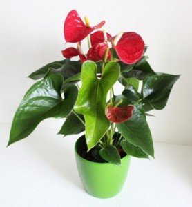Antherium  Potted Tropical Plant