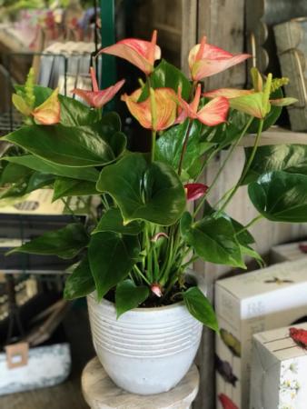Anthirium Blooming Plant