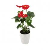 ANTHIRIUM PLANT