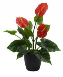 "Anthurium 6"" House Plant"