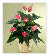 Anthurium    Blooming Plant