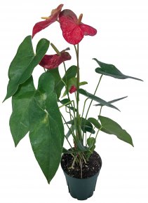 Anthurium Flowering Plant