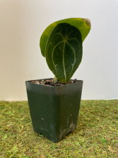 """Anthurium Forgetti Plant in a 4"""" pot"""