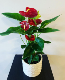 Anthurium in a ceramic container