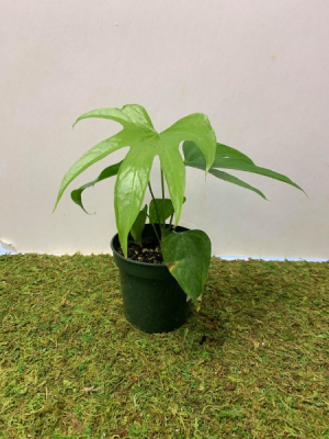 """Anthurium Pedatoradiatum """"Fingers"""" Plant in a 4"""" pot in Northport, NY   Hengstenberg's Florist"""