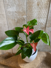 Anthurium Pink and White  plant