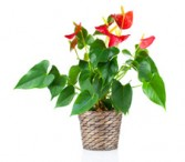 Anthurium Planrt  Call for availability