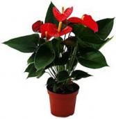 """Anthurium Plant 10"""" plant"""