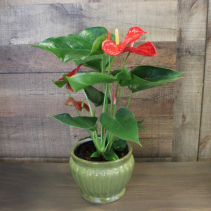 [OUT OF STOCK] Anthurium Plant