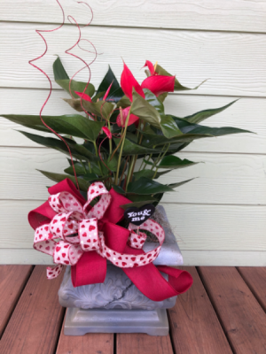 Anthurium Plant  in Pensacola, FL | JUST JUDY'S FLOWERS, LOCAL ART & GIFTS