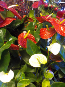 "Anthurium Plant 6"" Anthurium Plant 6"""