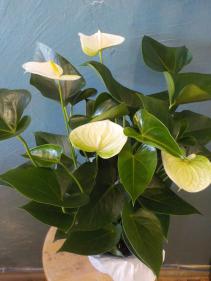 Anthurium Plant Anthurium Plant