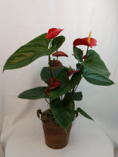 Anthurium Plant Blooming Plant in a metal container