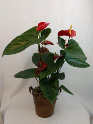 Anthurium Plant Blooming Plant in a metal container in Bend, OR | AUTRY'S 4 SEASONS FLORIST